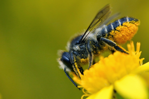 General Facts About Leafcutter Bees