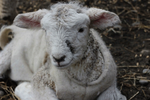 Farmlands - A guide to rearing lambs